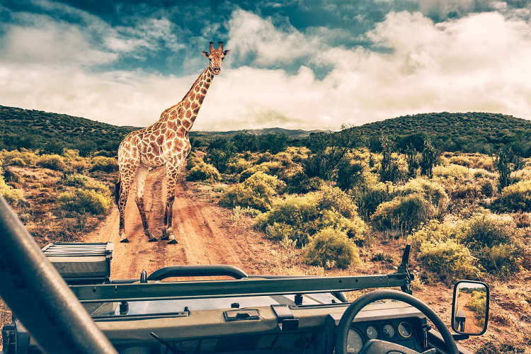 Tourist on an African safari filming a Giraffe